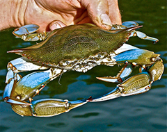 Blue crab held buy its back fin
