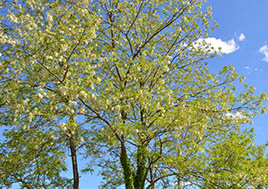 Beautiful trees on a clear spring day.