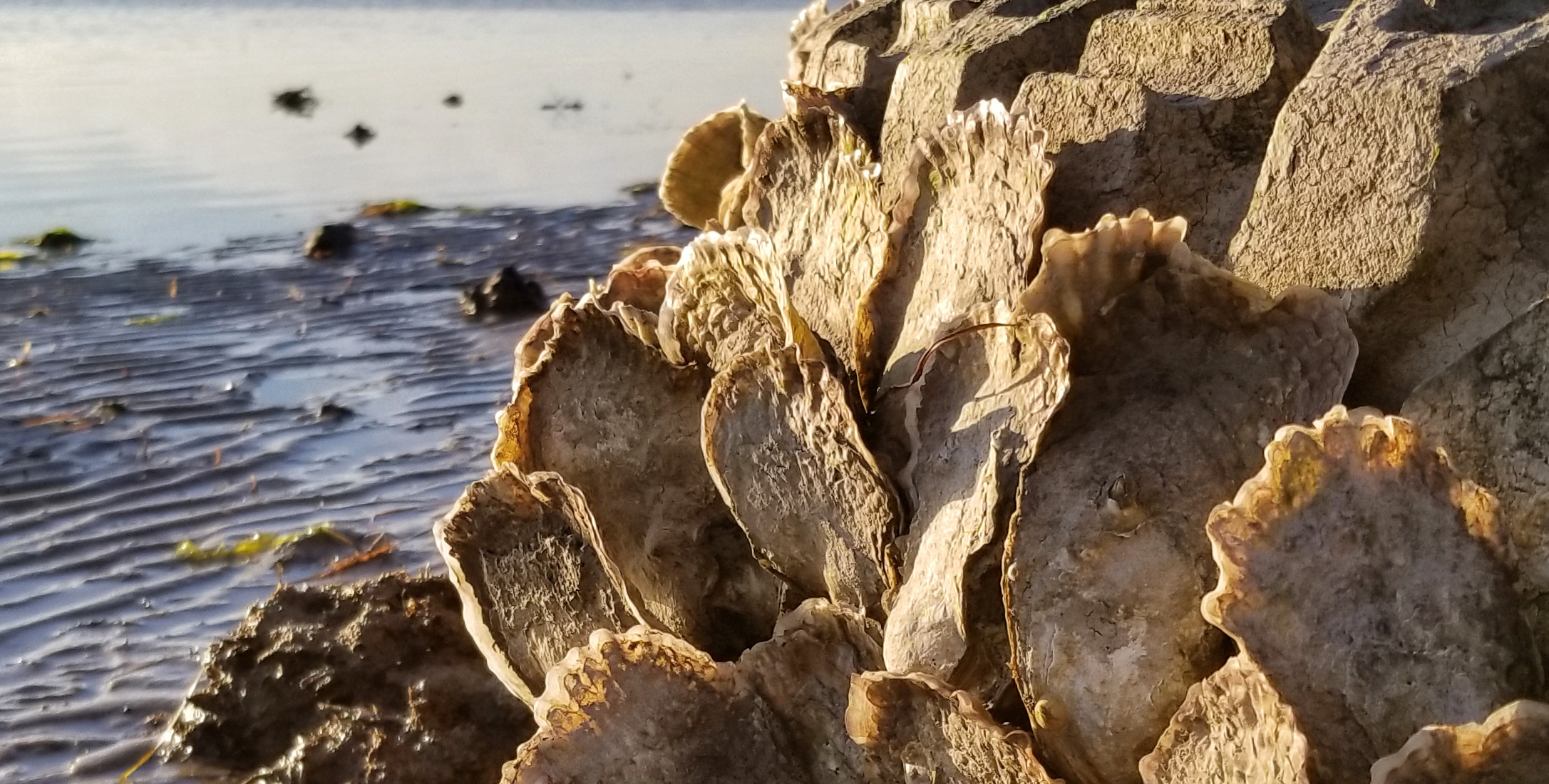 A close up photos of oysters catching the sunlight at low tide.