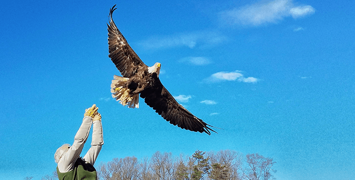 A bald eagle takes flight into the bright blue sky after being released from a handler.