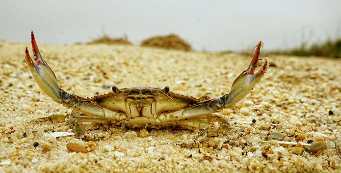 A photo of a blue crab on the sand with both claws raised.