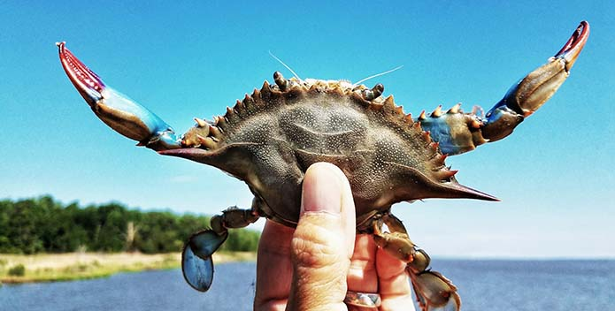 A Maryland blue crab is held up against a blue sky.