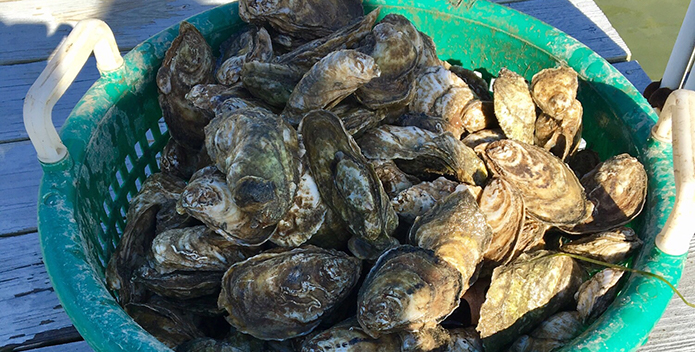 Photo of freshly harvested home-grown oysters.