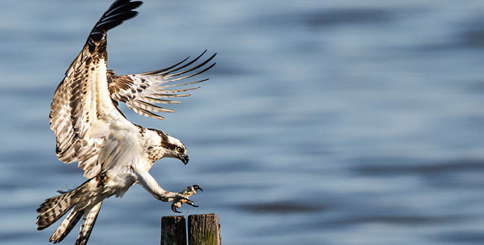 Photo of a bird with talons outstretched about to land on a wooden piling.