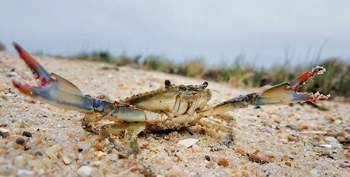 Close-up photo of a blue crab on the sand with its claws outstretched.