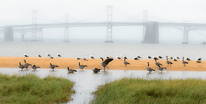 Canada geese and seagulls huddle by a puddle on a beach as fog obscures the Bay Bridge in the distance.