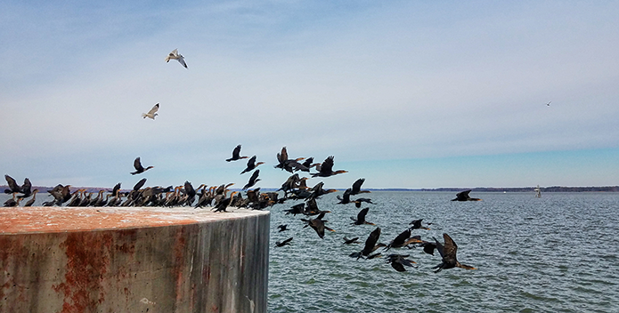 A photo of flock of cormorants taking off over the Chesapeake Bay.