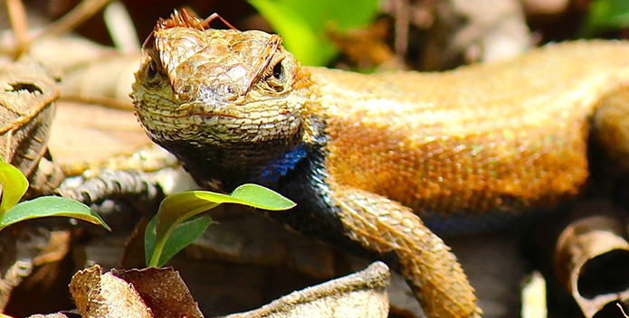A closeup photo of a Northern Fence Lizard with an ant on its head.