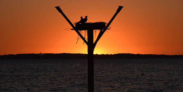 Silhouettes of two osprey in their nest backlit by a sunset.