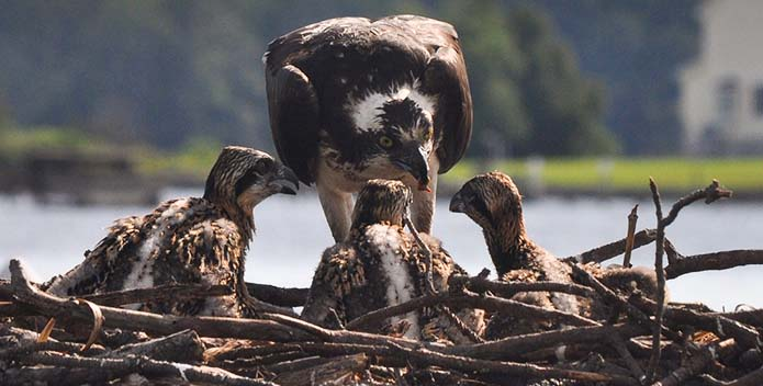 An up close image an osprey feeding ist young.