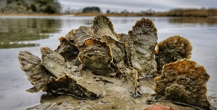 A close-up photo of a group of oysters revealed by the low tide.