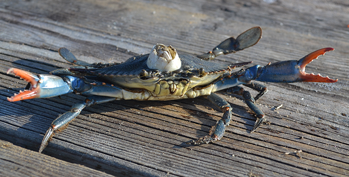 A photo of a blue crab with an old barnacle on it carapace.