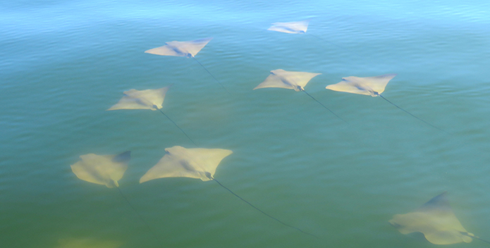 A group of cownose rays photographed in the Bay near Sharps Light.