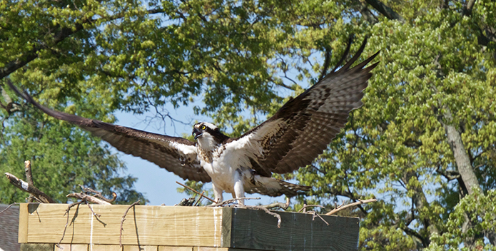 A photo of an osprey spreading its wings in its nest.