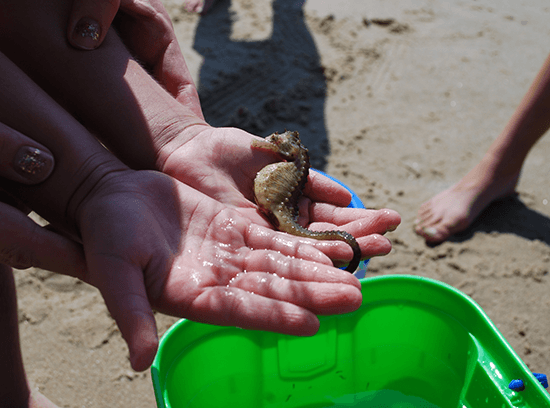 Hands holding a seahorse